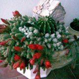 kucica-kaktusi